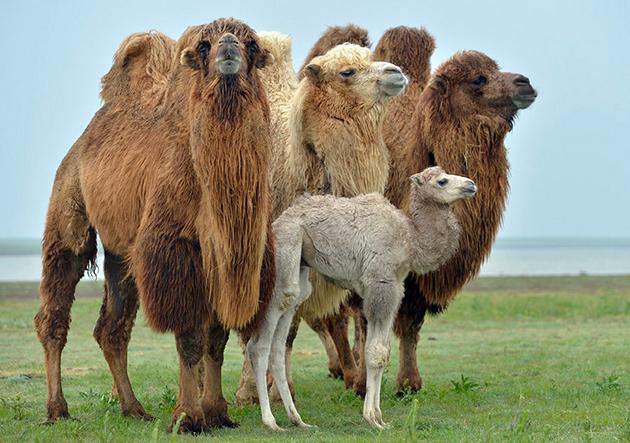 В дикой природе верблюды держаться небольшими стадами — 10-20 голов