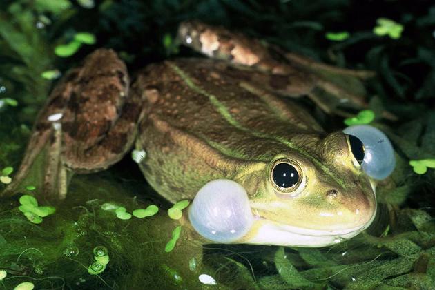 На сегодняшний день известно более полу тысячи видов лягушек