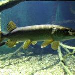 Рыба щука