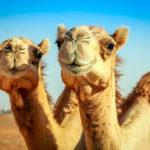 Верблюды (лат. Camelus)