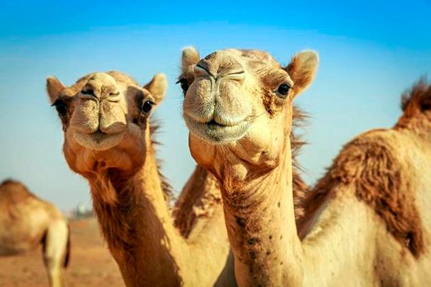 Вес верблюда варьируется в пределах 600-800 килограмм
