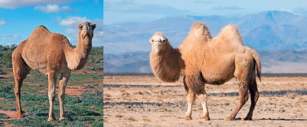Верблюдов можно разделить на два вида: одногорбый, двугорбый