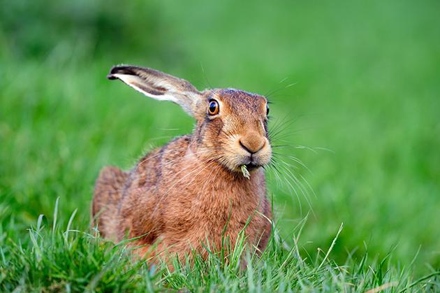 На сегодняшний день известно более трех десятков видов зайцев