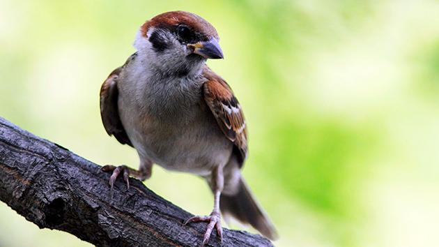 Птица воробей
