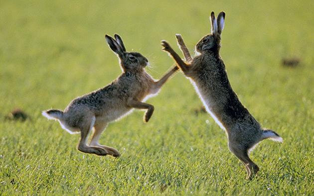 Главная особенность зайцев их быстрая скорость передвижения, которая может достигать 70 километров в час