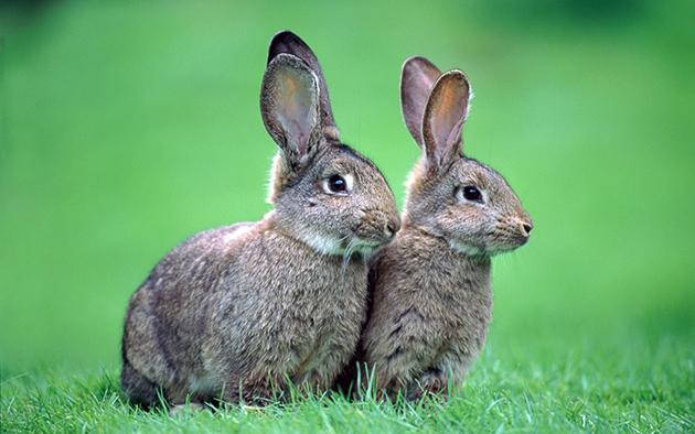 Зайцы очень плодовиты и могут рожать потомство до 4 раз в год