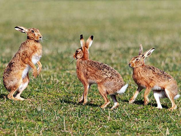 Популяции большинства видов зайцев ничего не угрожает