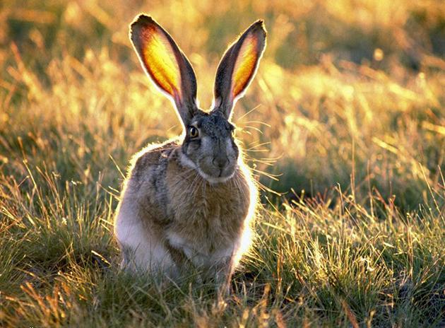 Зайцы (лат. Lepus)