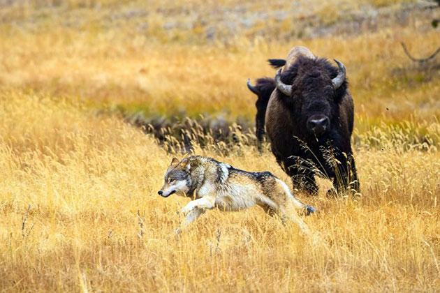 У бизонов почти нет врагов в природе, старым особям и молодняку могут насолить лишь серые волки