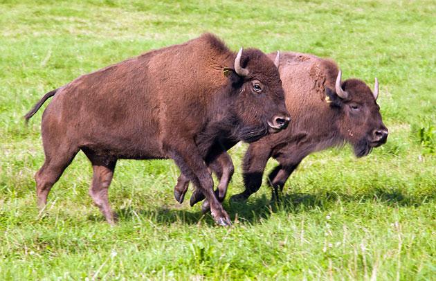 Американские бизоны питаются растительной пищей