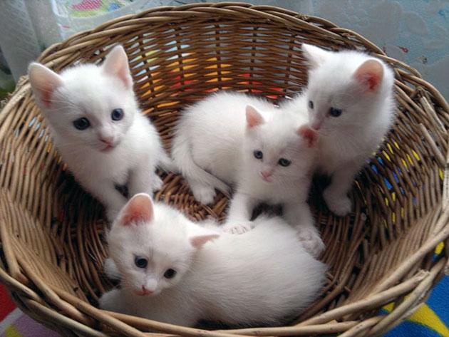 Анатолийская кошка не очень распространена в России и поэтому стоимость на неё достаточно высокая