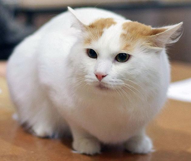 Анатолийская кошка ввиду своего «дикого» происхождения обладает отменным иммунитетом
