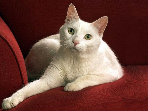 Анатолийская кошка обладает покладистым и нежным характером