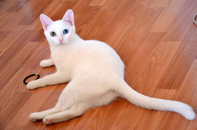 Анатолийская кошка не создаст никаких трудностей при содержание