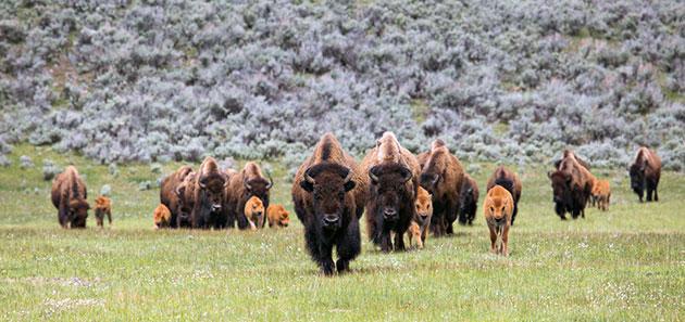 Ранее истребление бизонов носило массовый характер, но на сегодняшний день популяция постепенно возрастает