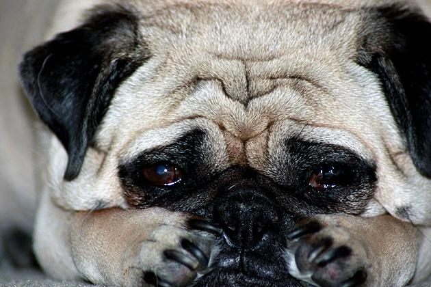 Чрезмерная вялость, постоянная потребность в воде – первые признаки заболевания почек у собак