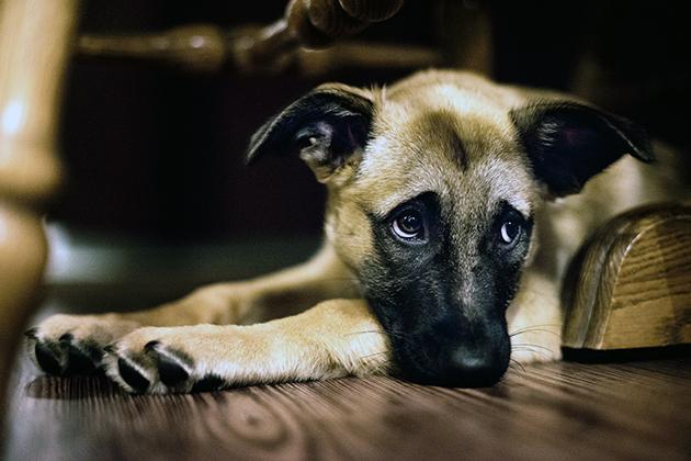 При болезнях почек у собак необходимо придерживаться строгой диеты