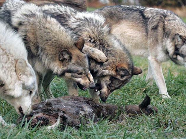 Летом у волком наиболее благоприятный период в плане кормежки