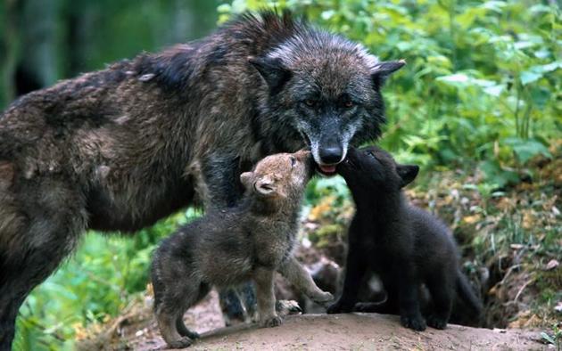 Волчица кормит щенят до 1.5 месяцев, дальше постепенно начинает приучать к охоте