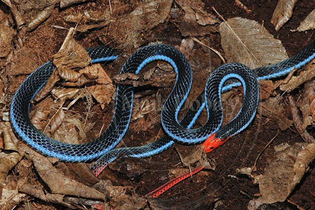 В кладке двухполосой желёзистой змеи располагается до 3 яиц