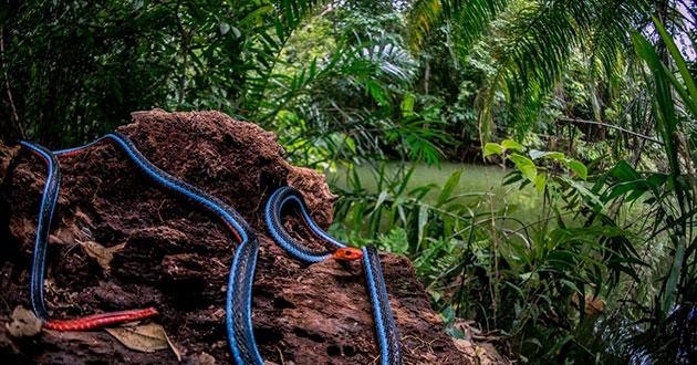 В условиях дикой природы двухполосые змеи могут доживать до 12 лет