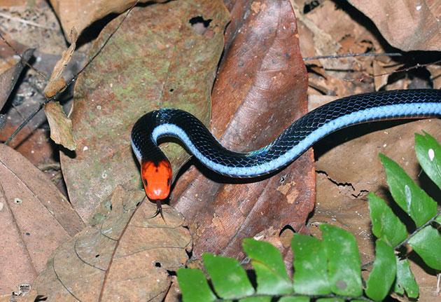 Двухполосая желёзистая змея