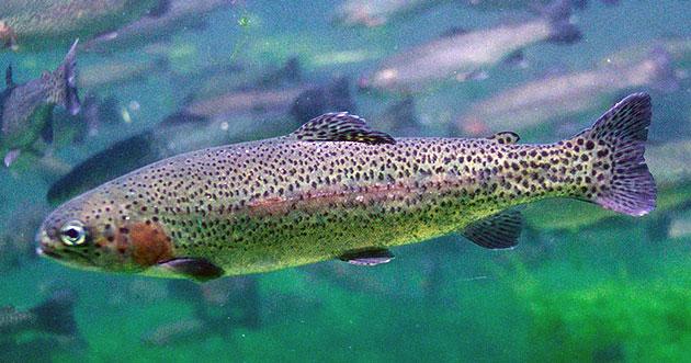 Озерные виды форели живут дольше, чем речные собратья