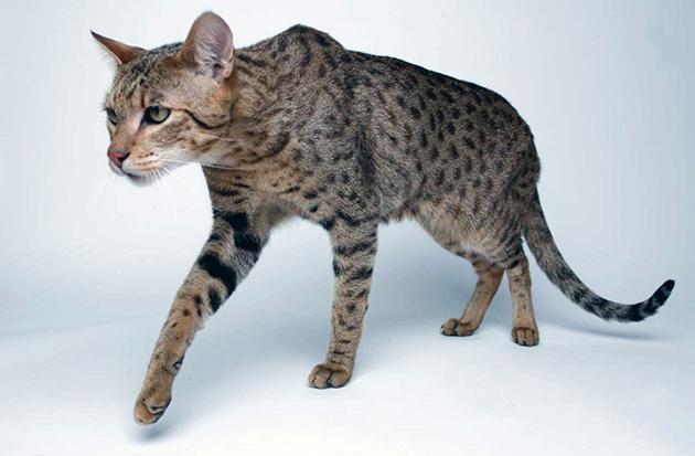 Некоторые характеризуют ашера, как леопарда в миниатюре