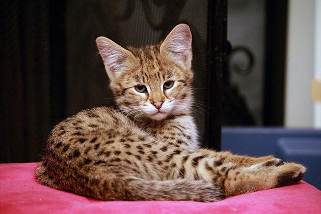 Кошку ашера могут позволить очень немногие, цена таких питомцев более 20 тысяч долларов