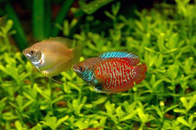 Яркий внешний вид и невысокая цена лялиусов зарекомендовала их с хорошей стороны у аквариумистов