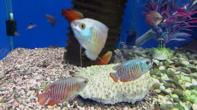 Лялиусы не нуждаются в больших емкостях, паре рыбок достаточно аквариума на 10-15 литров