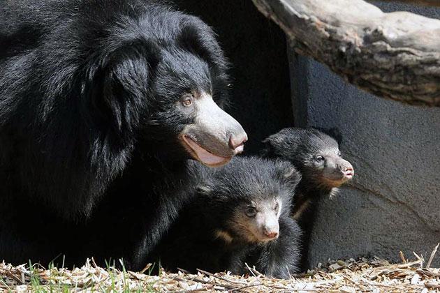 К продолжению рода медведь-губач готов в возрасте 3-4 года