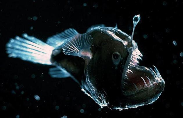 Морские черти широко распространены по водным просторам нашей планеты