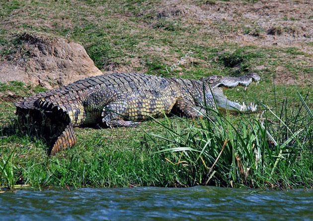 Нильские крокодилы большую часть времени ведут малоподвижный образ жизни