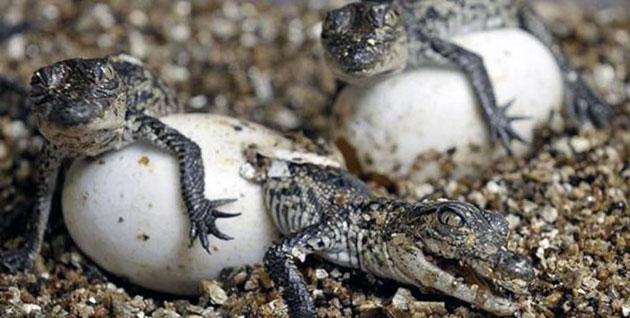 Нильские крокодилы готовы продолжать свое потомства в возрасте 10 лет