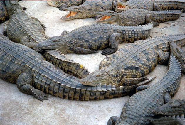 Популяция никольского крокодила не вызывает опасения