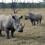 Носороги (лат. Rhinocerotidae)