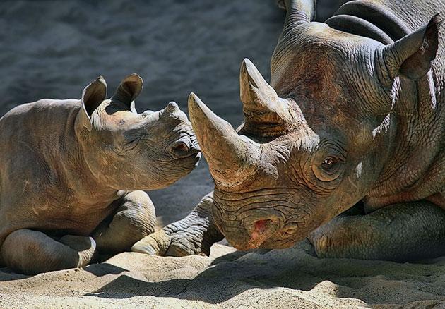 У носорогов практически природных врагов, главный враг — человек