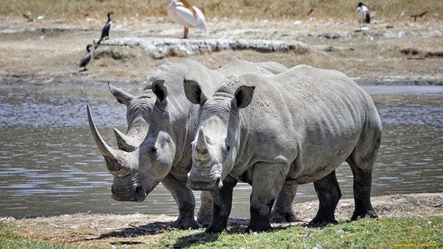 Носороги, в основном, спокойны и агрессию проявляют во время опасности