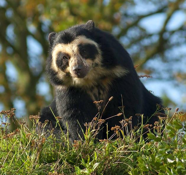 Очковый медведь предпочитает селиться в лесных массивах
