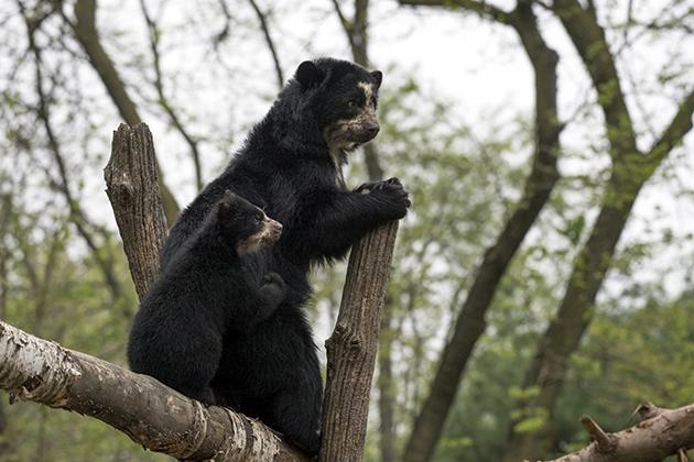 Брачный период у очковых медведей наступает в октябре