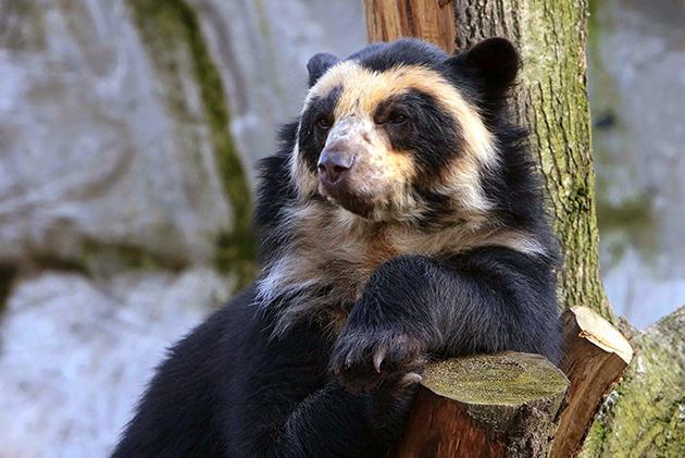 На сегодняшний день очковый медведь внесен в список уязвимых видов
