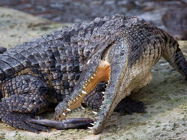 Крупные особи нильского крокодила могут охотиться даже на молодых слонов и жирафов