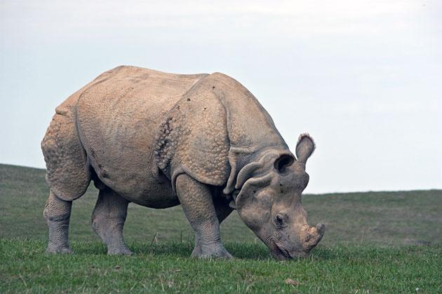 Рацион носорогов — растительная пища
