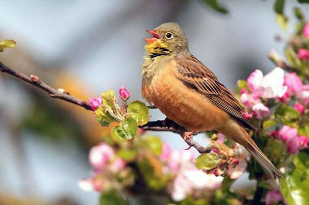Основной рацион садовых овсянок — растительная пища