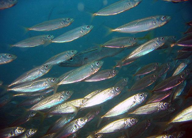 Скумбрия обитает во многих водоемах нашей земли