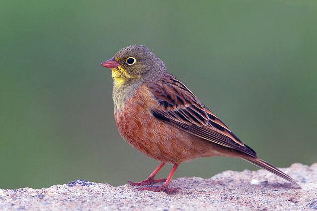 Птица садовая овсянка