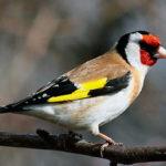 Птицы щеглы