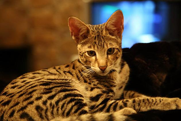 Ашера — крупная порода кошек и требует большого простора