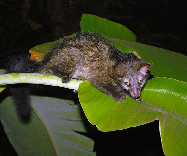 Мусанги подразделяются на три основных вида: Азиатский, Шри-ланкский, Южноиндейский